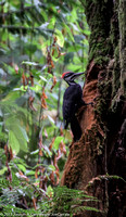 Pileated Woodpecker on a rotting tree
