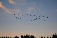 Geese Over the Field at Sunset